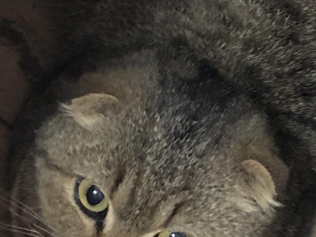 Кошка. Британская короткошерстная. Потеря/Находка в Москве