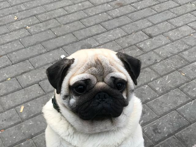 Собака. Мопс. Вязка в Москве