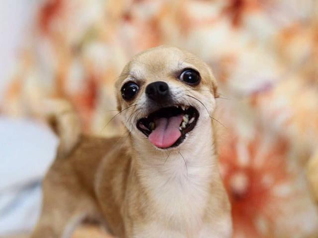 Собака. Чихуахуа . Вязка в Новосибирске