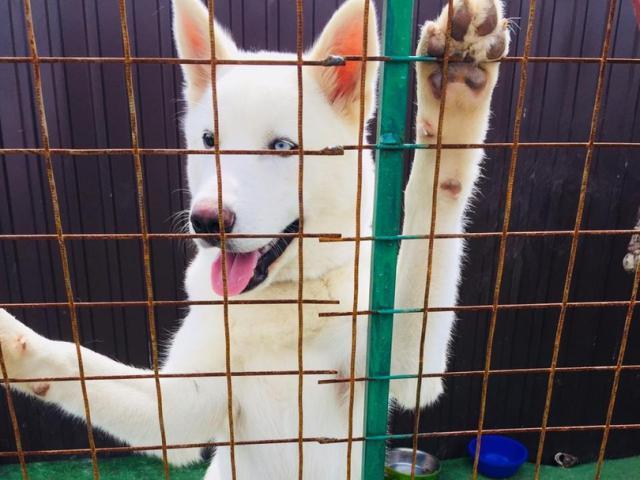 Собака. Сибирский хаски . Вязка в Казани