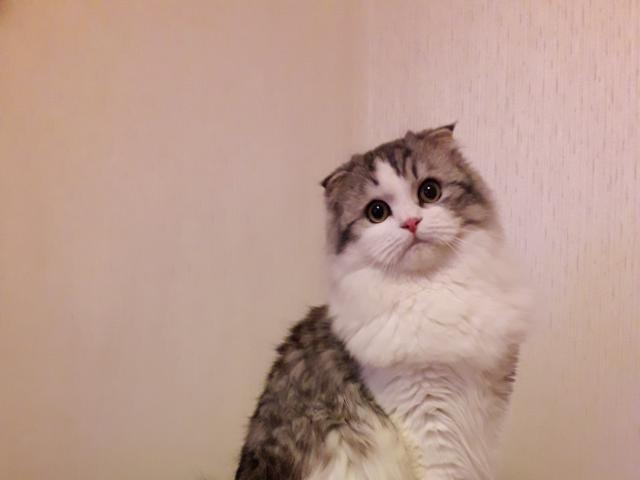 Кошка. Шотландская вислоухая (длинношерстная). Вязка в Москве