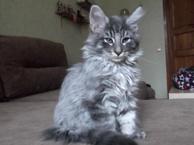 Кошка. Норвежская лесная. Продаю в Москве