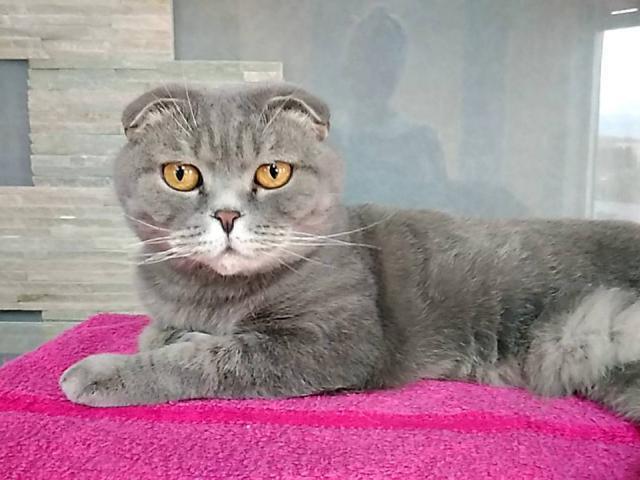 Кошка. Шотландская вислоухая (короткошерстная). Отдам в дар в Нижнем Новгороде