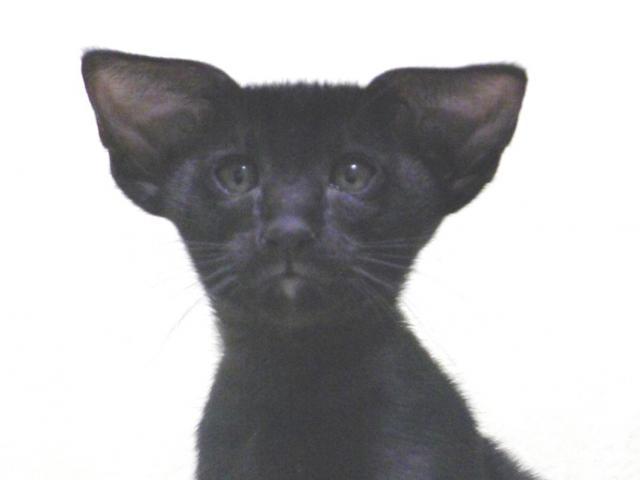 Кошка. Ориентальная (короткошерстная). Продаю в Москве