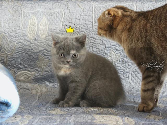 Кошка. Скоттиш-страйт. Продаю в Подольске