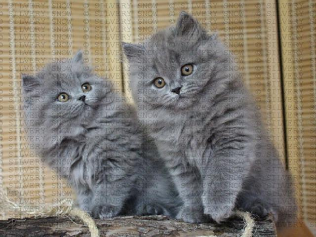 Британские длинношерстные котята из питомника.