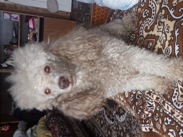 Собака. Пудель малый. Потеря/Находка в Красноярске