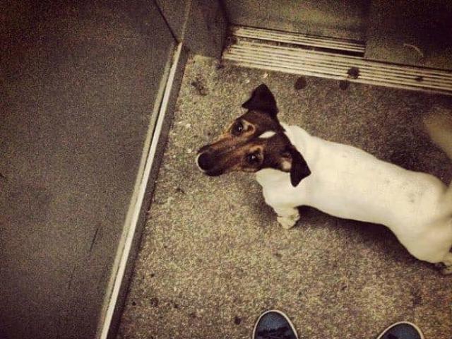 Собака. Джек Рассел терьер. Потеря/Находка в Москве