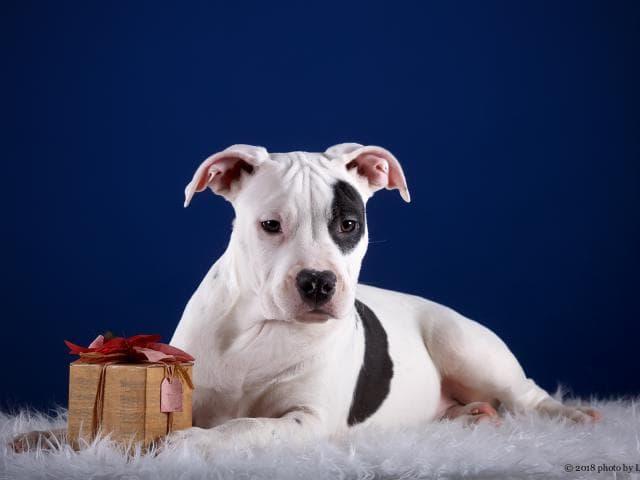 Собака. Американский стаффордширский терьер. Продаю в Барвихе