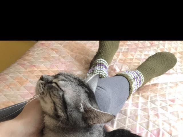 Кошка. Шотландская вислоухая (длинношерстная). Отдам в дар в Красноярске