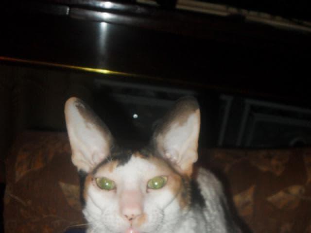 Кошка. Корниш-рекс. Продаю в Москве