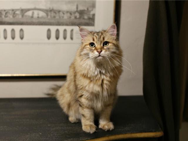 Кошка. Сибирская. Отдам в дар в Москве