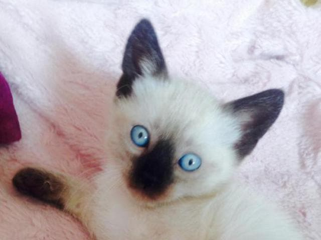 Кошка. Сиамская. Продаю в Москве