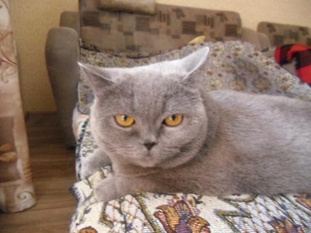 Кошка. Британская длинношерстная. Отдам в дар в Челябинске