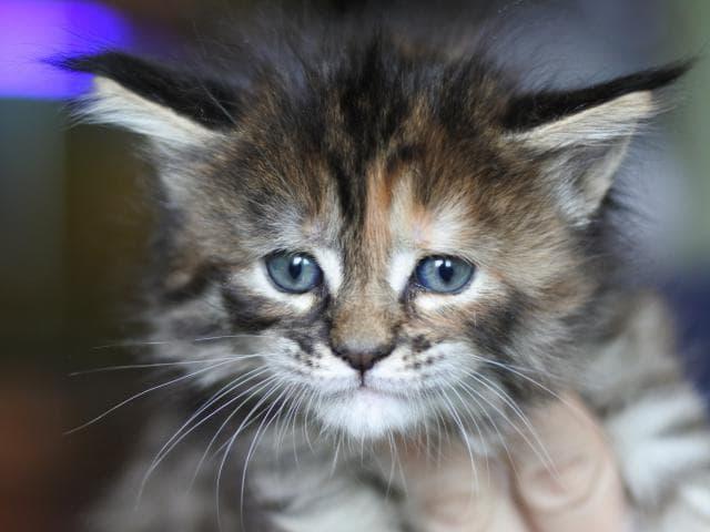 Кошка. Мэйн-кун . Продаю в Коломне