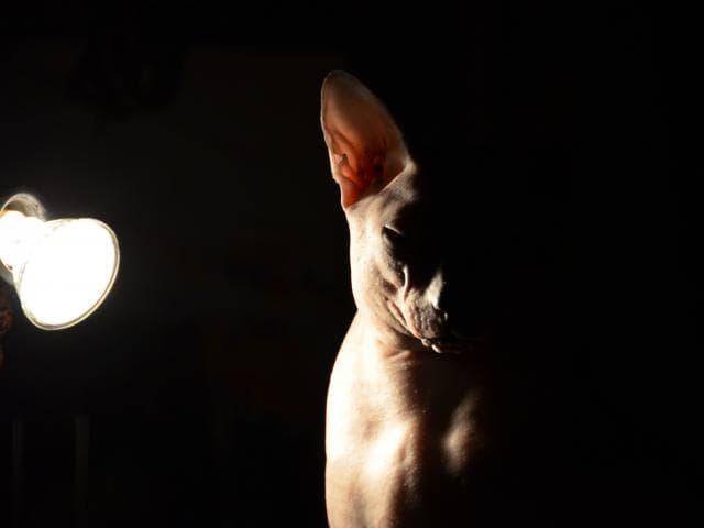 Кошка. Сфинкс. Вязка в Красноярске