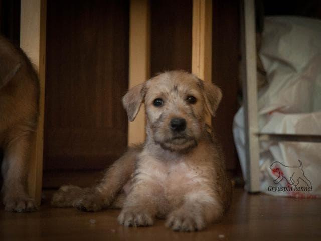 Собака. Ирландский мягкошерстный пшеничный терьер. Продаю в Москве
