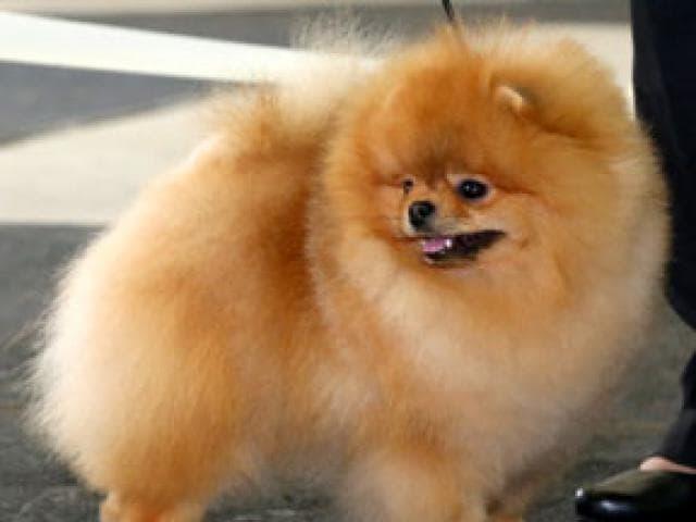 Собака. Немецкий шпиц карликовый (померанский). Вязка в Омске