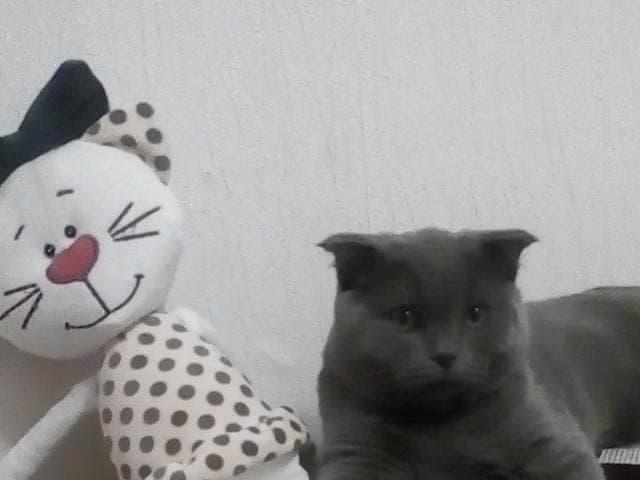 Кошка. Британская короткошерстная. Отдам в дар в Челябинске