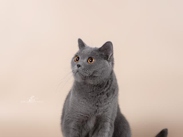 Кошка. Британская короткошерстная. Продаю в Казани