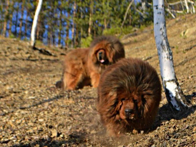 Собака. Тибетский мастиф (До-Кхый). Продаю в Москве