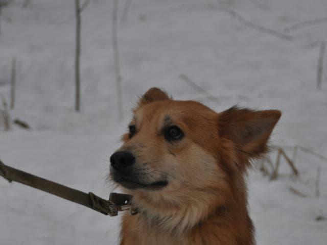 Собака.  Бeспородные и метисы . Отдам в дар в Санкт-Петербурге
