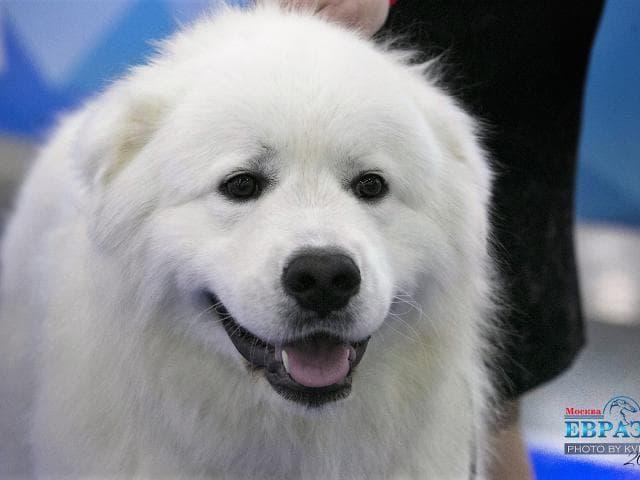 Собака. Маремма-абруцкая овчарка. Вязка в Москве