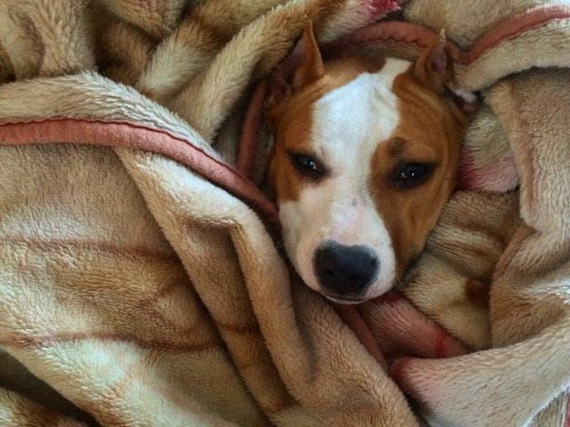 Собака. Американский стаффордширский терьер. Отдам в дар в Кингисеппе