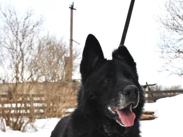 Собака. Восточноевропейская овчарка . Отдам в дар в Санкт-Петербурге
