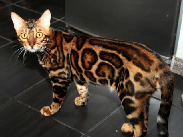 Кошка. Бенгальская короткошерстная. Продаю в Харькове