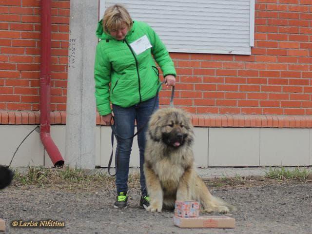 Собака. Кавказская овчарка. Отдам в дар в Красноярске