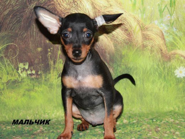Собака. Пражский крысарик (ратлик) . Продаю в Москве
