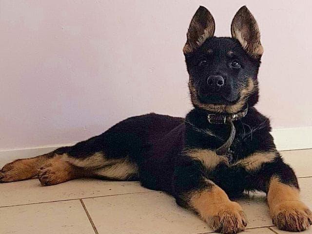 Собака. Восточноевропейская овчарка . Продаю в Балашихе