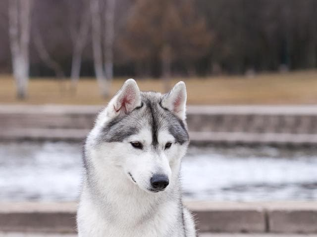 Собака. Сибирский хаски . Вязка в Минске