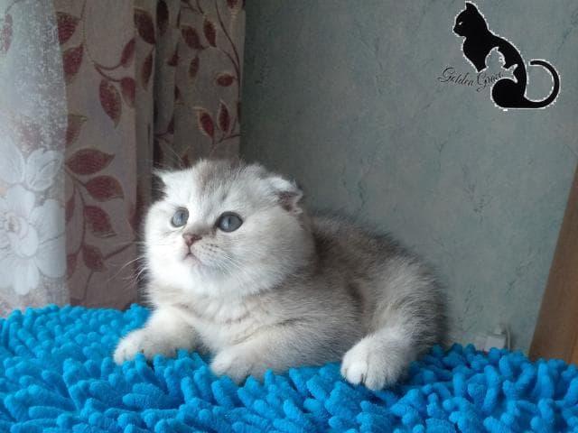Кошка. Шотландская вислоухая (короткошерстная). Продаю в Иваново