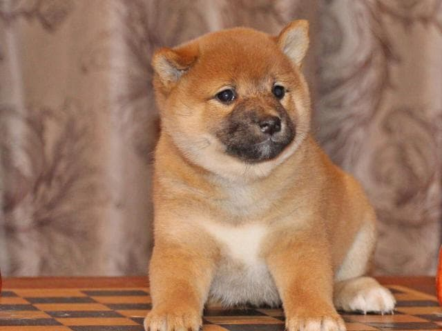 Собака. Шиба (Сиба). Продаю в Санкт-Петербурге