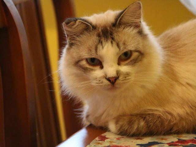 Кошка.  Беспородные и метисы . Отдам в дар в Фрязино