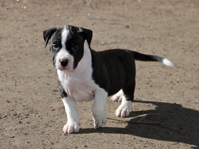Собака. Американский стаффордширский терьер. Продаю в Санкт-Петербурге