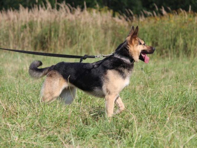 Собака. Восточноевропейская овчарка . Отдам в дар в Москве