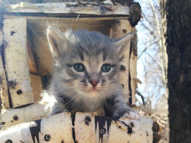 Кошка.  Беспородные и метисы . Отдам в дар в Нижнем Новгороде