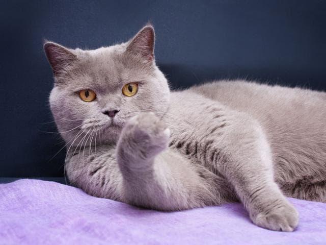 Кошка. Британская короткошерстная. Отдам в дар в Москве