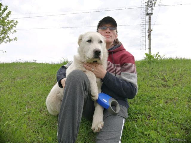 Собака. Среднеазиатская овчарка (Алабай). Продаю в Екатеринбурге