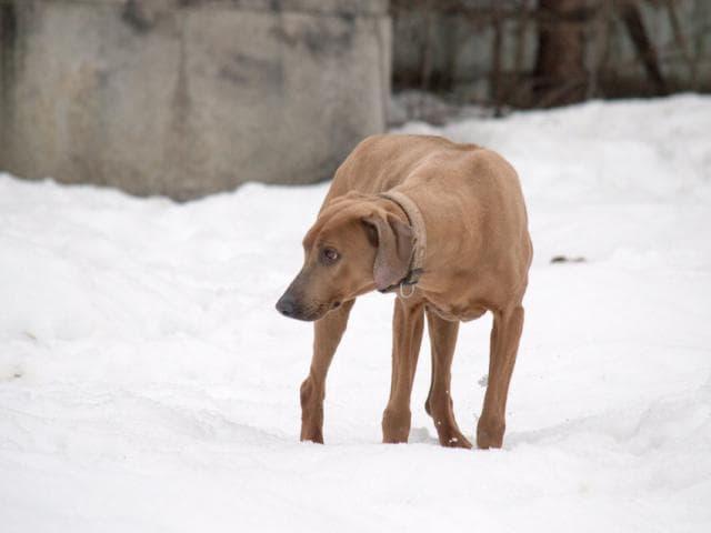 Собака. Родезийский риджбек . Отдам в дар в Москве
