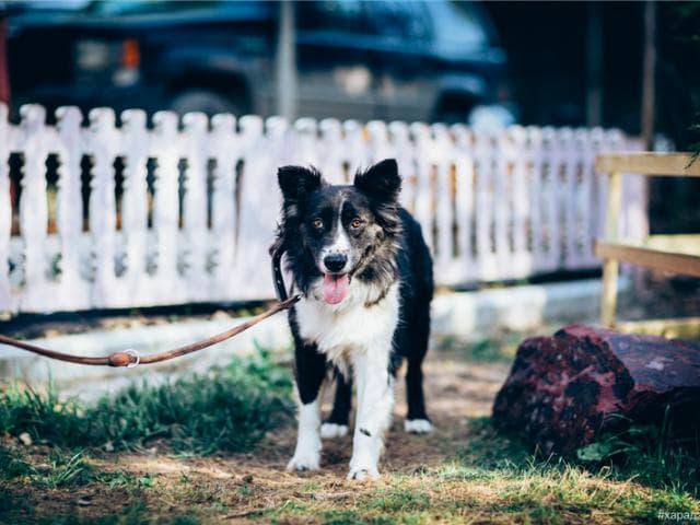 Красивая собака Рокси в добрые руки.