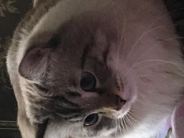 Кошка. Невская маскарадная. Отдам в дар в Самаре