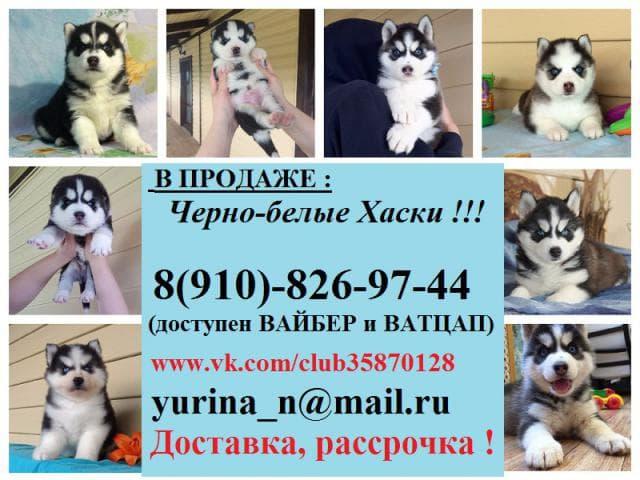 Собака. Сибирский хаски . Продаю в Санкт-Петербурге