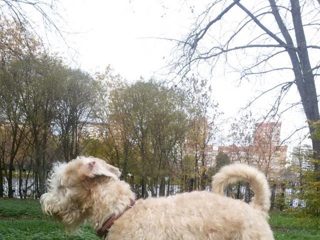 Собака. Ирландский терьер. Вязка в Москве