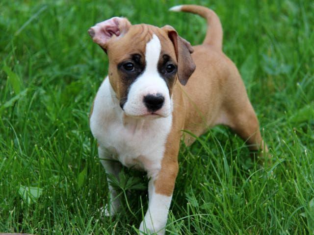 Собака. Американский стаффордширский терьер. Продаю в Химки