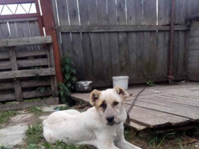 Собака. Среднеазиатская овчарка (Алабай). Продаю в Берёзовском