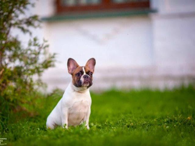 Собака. Французский бульдог . Продаю в Москве